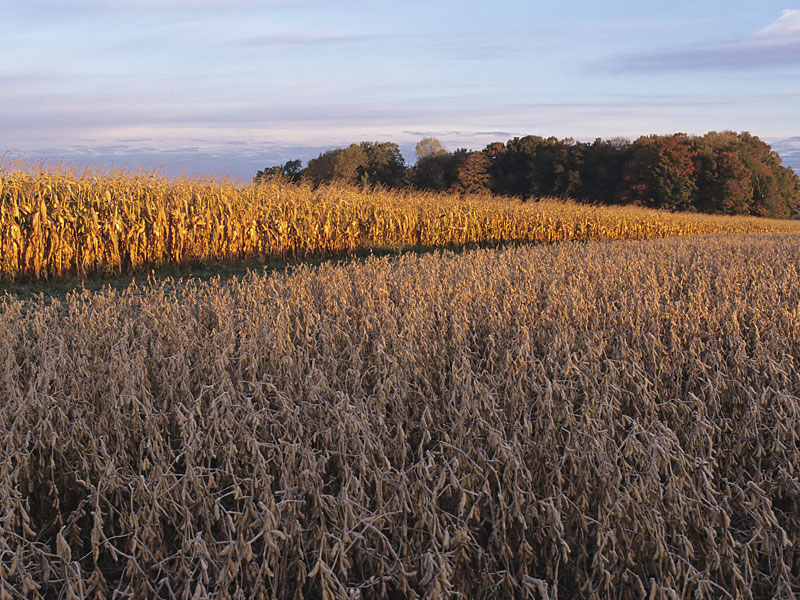 Soybean-corn-fields.jpg