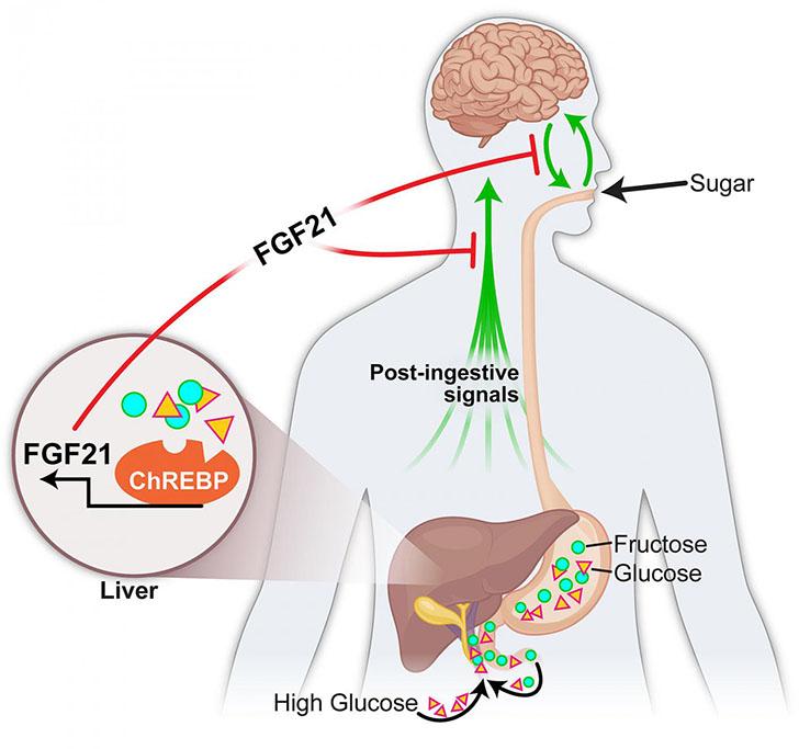 Sugar-craving-hormone.jpg